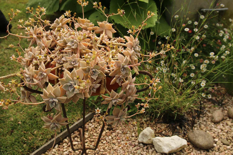 Taille des arbustes persistants fleurs arrosoirs et - Taille des lauriers fleurs ...