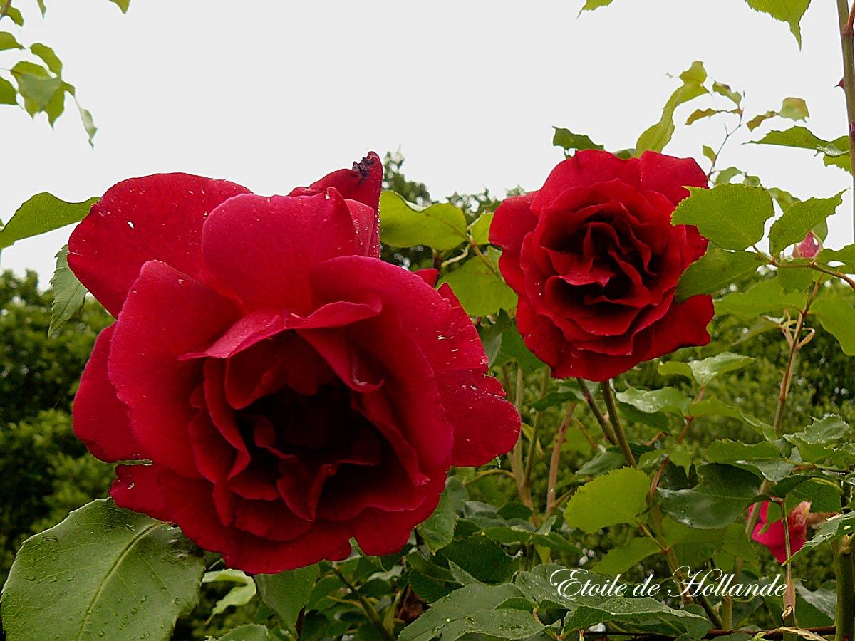 Super Des Rosiers remontants à floraison très parfumée - Arrosoirs et  WI04