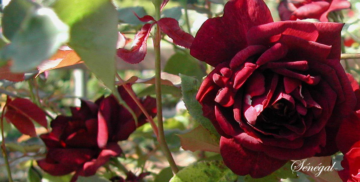 des rosiers remontants floraison tr s parfum e arrosoirs et s cateurs. Black Bedroom Furniture Sets. Home Design Ideas