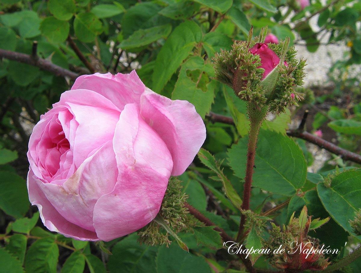 Des rosiers non remontants floraison tr s parfum e arrosoirs et s cateurs - Taille des framboisiers non remontants ...