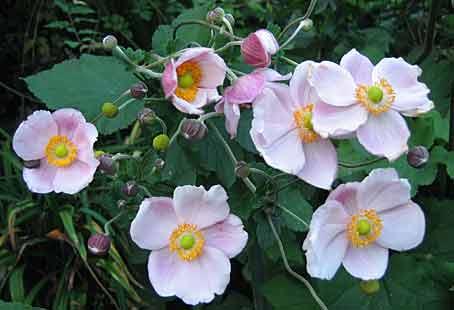 Quelques vivaces pour jardin de bord de mer arrosoirs et - Anemone du japon blanche ...