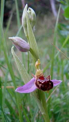 cypripedium reginae vente