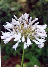 Après la floraison, couper les tiges fanées au ras du sol (sauf si l\u0027on  souhaite récolter les graines).