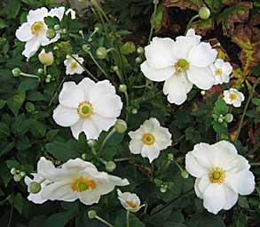Anemone hupehensis var japonica arrosoirs et s cateurs - Anemone du japon blanche ...