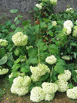 Hydrangea arborescens \'Annabelle\' - Arrosoirs et Sécateurs