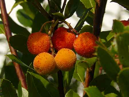 Arbuste fruit