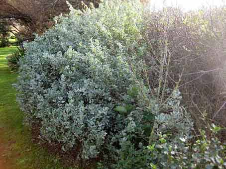 Arbustes brise vent pour petits jardins de bord de mer - Haie de bord de mer ...