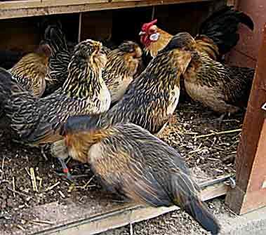 comment les poules font elles les oeufs