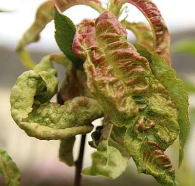 Maladies et ravageurs des plantes en photos arrosoirs et s cateurs - Maladie du pecher ...