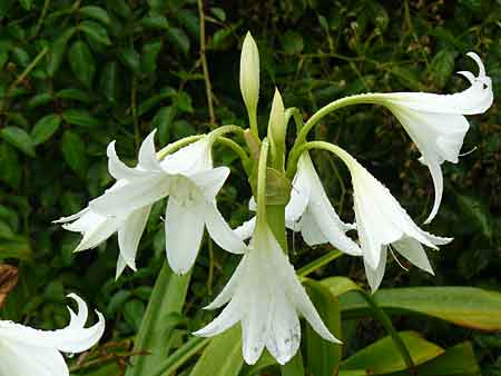 amaryllis vivace