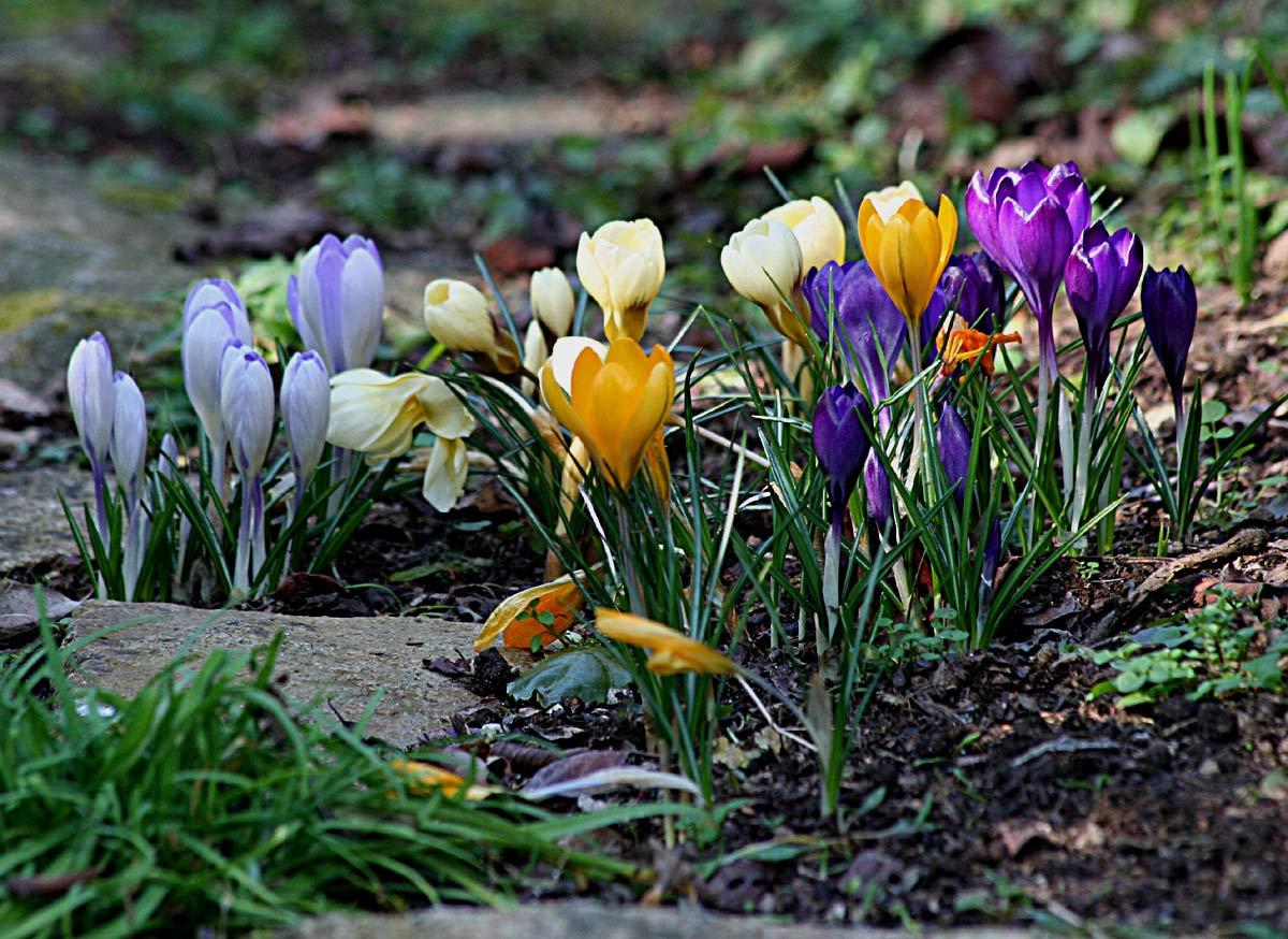 Crocus vernus (Crocus à grandes fleurs) - Arrosoirs et Sécateurs