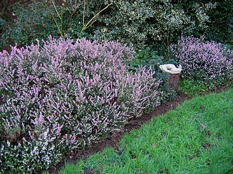Des vivaces longue floraison hiver et d but de for Plante vivace en pot hiver
