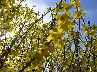 Arbustes arbres et grimpantes travaux en janvier f vrier arrosoirs et s cateurs - Quand tailler un forsythia ...