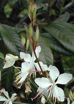 Des vivaces longue floraison t arrosoirs et s cateurs - Fleur blanche longue tige ...
