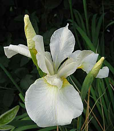 Iris Sibirica Iris De Sib 233 Rie Arrosoirs Et S 233 Cateurs