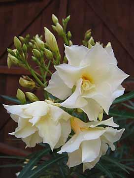 Nerium oleander laurier rose arrosoirs et s cateurs - Engrais laurier rose ...