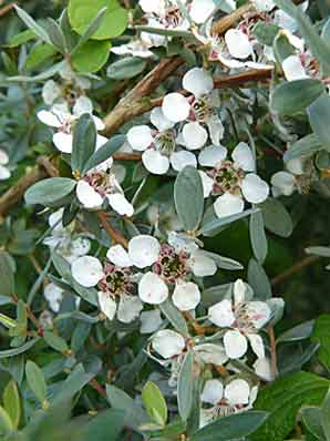 Leptospermum lanigerum 'Silver Sheen'
