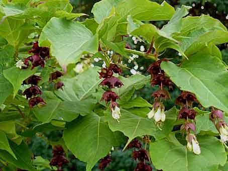 Leycesteria formosa l arbre aux faisans arrosoirs et s cateurs - Comment s appelle l arbre du kaki ...