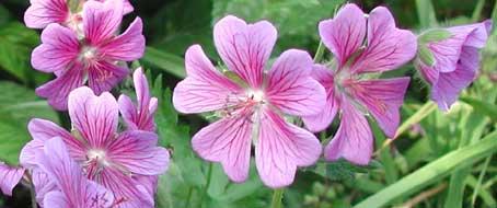 Les g raniums vivaces arrosoirs et s cateurs for Comment arroser les geraniums
