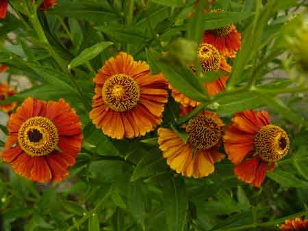 Fleurs orange vivace for Vivace floraison hivernale