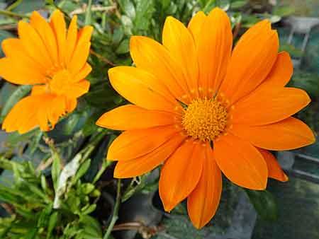 des floraisons orange vivaces annuelles et bulbeuses. Black Bedroom Furniture Sets. Home Design Ideas