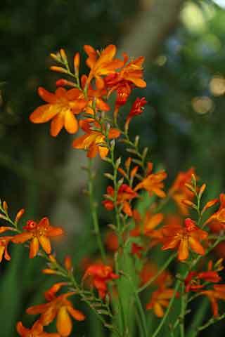 Des floraisons orange : vivaces, annuelles et bulbeuses ...