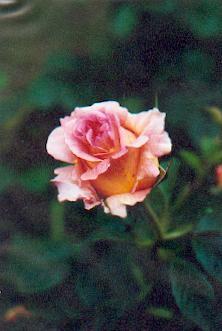 Entretien des rosiers mois par mois arrosoirs et s cateurs - Rosier mange par des chenilles ...