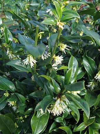 Arbustes floraison parfum e en hiver arrosoirs et for Floraison hiver