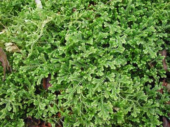 plante tapissante persistant phlox les plantes couvresols sont les magiciennes du jardin elles. Black Bedroom Furniture Sets. Home Design Ideas