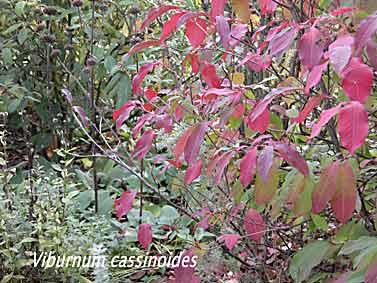 Viburnum le bois marquis