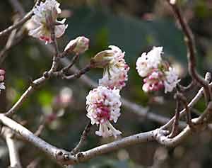 Des arbustes caducs int ressants pour leur floraison - Arbuste a floraison hivernale ...