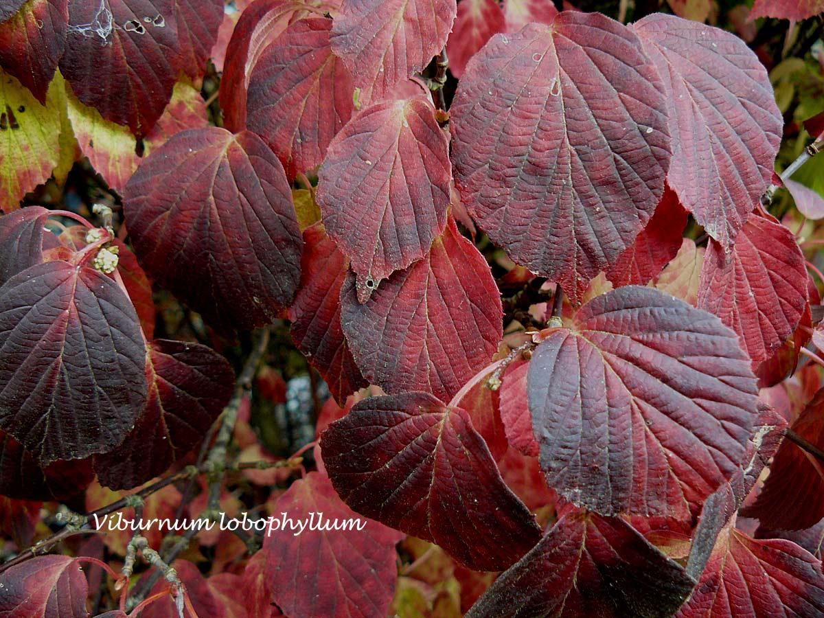 quelques arbustes à feuillage d'automne remarquable  arrosoirs et